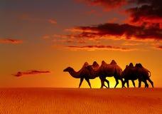 camminare di fantasia del deserto dei cammelli Fotografie Stock