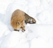 Camminare di Fox rosso fotografie stock libere da diritti