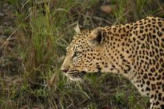 Camminare femminile del leopardo Fotografie Stock Libere da Diritti