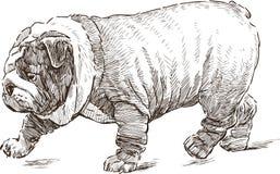Camminare inglese del bulldog Fotografie Stock