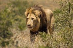 Camminare maschio del leone Immagine Stock Libera da Diritti