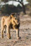 Camminare maschio del leone Immagini Stock Libere da Diritti