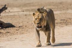 Camminare maschio del leone Fotografia Stock