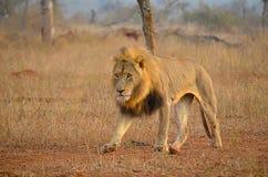 Camminare maschio del leone Fotografie Stock