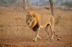 Camminare maschio del leone Fotografia Stock Libera da Diritti