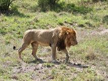 Camminare maschio del leone Immagini Stock