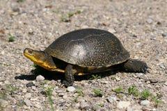 Camminare raro della tartaruga di Blandings Fotografie Stock Libere da Diritti