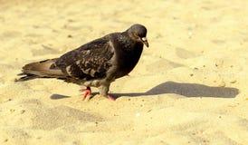 Camminata affamata del piccione fotografia stock libera da diritti