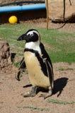 Camminata africana del pinguino Fotografie Stock Libere da Diritti
