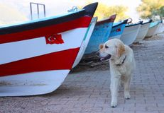 Camminata bianca del cane fotografie stock