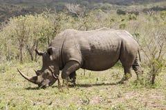 Camminata bianca di rinoceronte Fotografia Stock Libera da Diritti