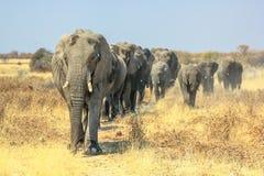 Camminata degli elefanti africani Fotografia Stock Libera da Diritti