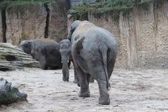 Camminata degli elefanti asiatici Fotografie Stock Libere da Diritti