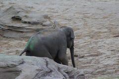 Camminata degli elefanti asiatici Fotografia Stock