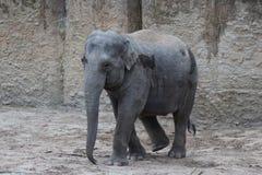 Camminata degli elefanti asiatici Fotografia Stock Libera da Diritti