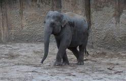 Camminata degli elefanti asiatici Immagine Stock Libera da Diritti
