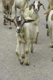 Camminata dei bambini delle capre del bambino Immagine Stock Libera da Diritti