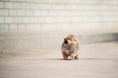 Camminata del cucciolo dello Spitz di Pomeranian Immagini Stock Libere da Diritti