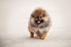 Camminata del cucciolo dello Spitz di Pomeranian Immagini Stock