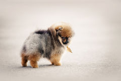 Camminata del cucciolo dello Spitz di Pomeranian Fotografia Stock