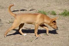 Camminata del dingo Immagine Stock Libera da Diritti
