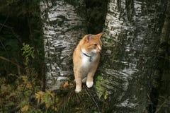 Camminata del gatto dello zenzero all'aperto Fotografie Stock