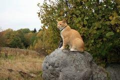 Camminata del gatto dello zenzero all'aperto Immagine Stock Libera da Diritti