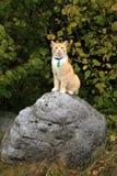 Camminata del gatto dello zenzero all'aperto Immagini Stock Libere da Diritti
