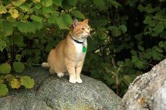 Camminata del gatto dello zenzero all'aperto Fotografia Stock Libera da Diritti