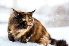 Camminata del gatto di Maine Coon fotografia stock libera da diritti