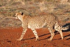 Camminata del ghepardo Immagine Stock Libera da Diritti