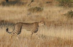 Camminata del ghepardo Fotografia Stock Libera da Diritti
