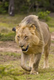 Camminata del leone Fotografie Stock