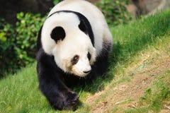 Camminata del panda Immagine Stock Libera da Diritti