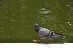 Camminata del piccione Immagine Stock