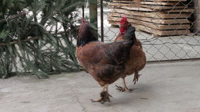 Camminata del pollo di Brown stock footage
