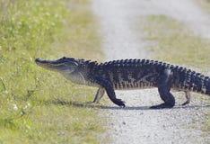 Camminata dell'alligatore di Florida Fotografia Stock Libera da Diritti