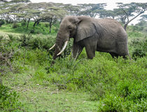 Camminata dell'elefante Immagini Stock