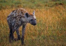 Camminata dell'iena Fotografie Stock Libere da Diritti