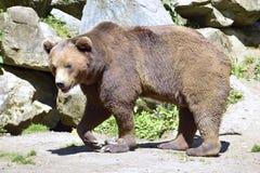Camminata dell'orso bruno Fotografia Stock Libera da Diritti