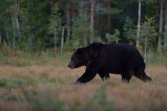 Camminata dell'orso bruno Fotografie Stock
