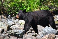 Camminata dell'orso nero dell'Alaska Fotografia Stock Libera da Diritti
