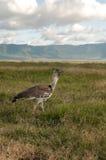 Camminata dell'uccello Fotografia Stock