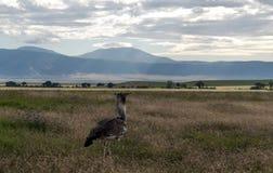 Camminata dell'uccello Fotografia Stock Libera da Diritti