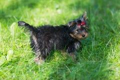 Camminata dell'Yorkshire terrier del cucciolo Fotografia Stock Libera da Diritti