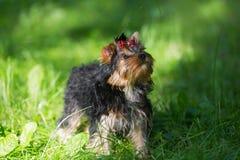 Camminata dell'Yorkshire terrier del cucciolo Immagini Stock