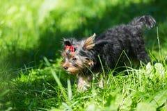 Camminata dell'Yorkshire terrier del cucciolo Immagine Stock