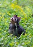 Camminata dell'Yorkshire terrier del cucciolo Fotografie Stock