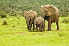 Camminata della famiglia dell'elefante Fotografie Stock Libere da Diritti