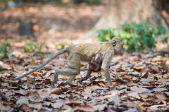 Camminata della famiglia della scimmia (chemangia macaco) Immagini Stock